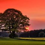 The English Oak is one of the symbols of the British way of life. It has a long connection with the region, particularly with the British Royal family and with the traditions and customs of the British Isles. As our beautiful woodlands are vanishing before our eyes, people may no longer feel the connection with the oak that once existed, and may even wonder how one common tree has come to stand for the whole of the little, but Great Island. Oak and British Tradition The history of the connection between the oak and the British lies in the mists of time. Even the genus name Quercus comes from two words, quer and cues, which together mean 'fine tree'. In the Celtic religion, the tree was dedicated to Dagda, the god of lightning. There is a traditional connection between the oak and the British Druids, where large numbers of oaks were planted in holy areas, and rituals and even local judicial events were conducted beneath the strong branches of the tree. The legal connections of the tree were so strong that it was common for couples to be married under an Oak right until the Restoration. As the oak tree can live for a thousand years, it is possible that couples from the Celtic to the early medieval period married under the same village oak. The Royal Oak As the traditional heritage of the oak tree was fading in England, the future Charles II was hiding in an oak tree in the grounds of Boscobel House. He is thought to have stayed in the tree for many hours, hiding from Parliamentarian forces in about 1650. After his restoration in 1660, he named the 29th of May as a national holiday, and it was called 'Oak Apple Day'. It is still celebrated in some areas, and sprigs of oak leaves were worn to celebrate the date. There is some suggestion that these celebrations mixed restoration festivals with a pre-Christian ceremony. In addition to this date, The Royal Oak became a familiar pub name across Britain, with more than 500 Royal Oak pubs in 2007. Oak and the Navy Another gre