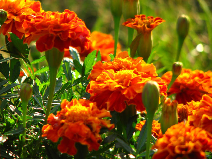 Edible Flower Garden - Eco and Healthy Lifestyle