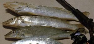 Fishing For Sillago / Whiting (Sillaginidae Family Species)