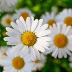 Health Benefits Of Chamomile Plant